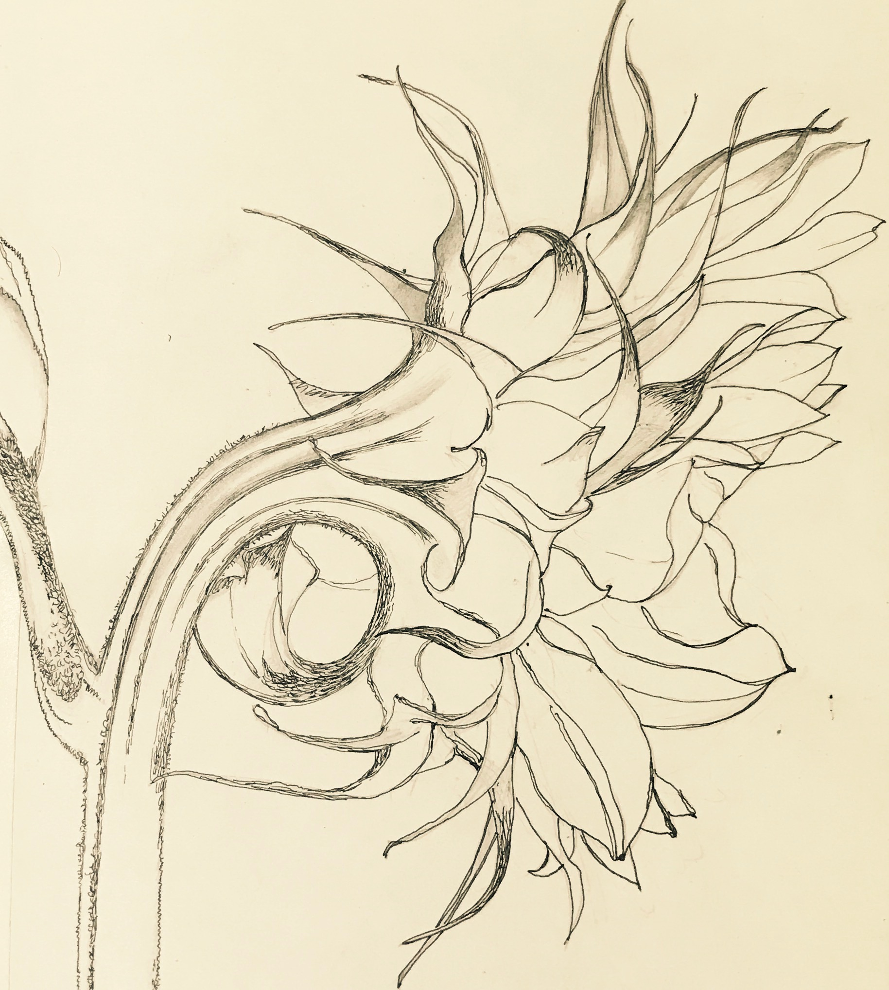 010 'Sunflower'  Pencil Drawing